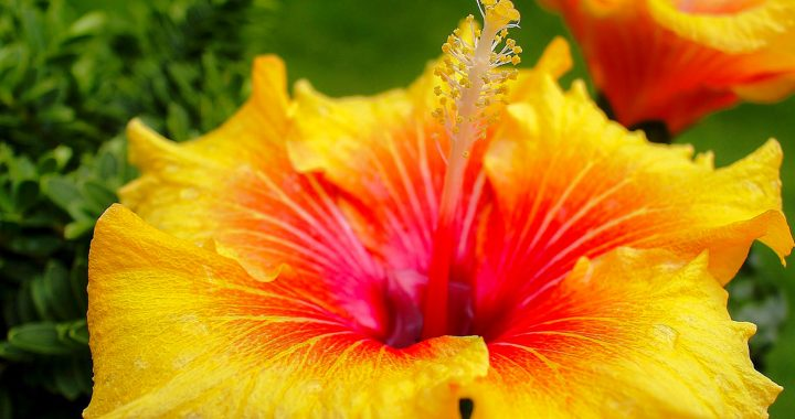 The Yellow Hibiscus Hawaii S State Flower Travel To Paradise